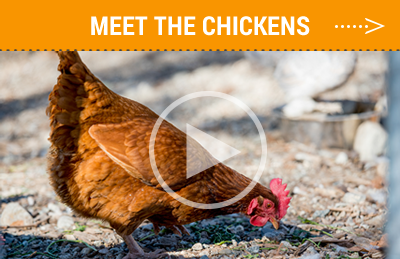 Meet the Pitzer Chickens