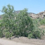 desert_willow
