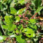 evergreen_currant