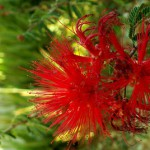 red_fairy_duster