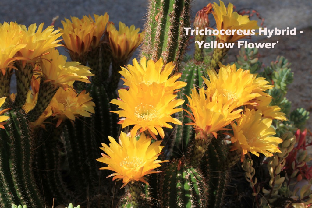 Mead Hall, front - Trichocereus 'Pitzer's Gold' Yellow Flower