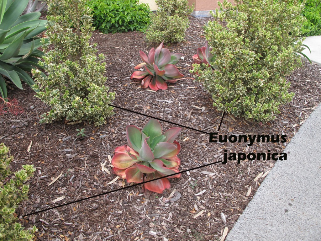 cat-301-Phase-I-Euonymus-japonica