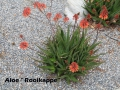 cat-094-Broad-Center-Aloe-Rooikappe