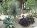 cat-173-McConnell-Yucca-rostrata