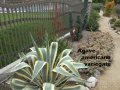 cat-267-Phase-I-Agave-americana-variegate