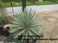 cat-268-Phase-I-Agave-angustifolia- Caribbean-Agave