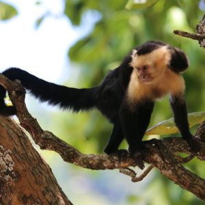 Monkey in a tree at the Firestone Center in Costa Rica