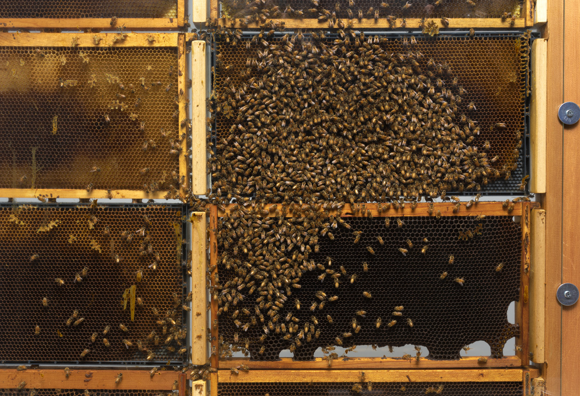 Close-up photo of bee hive in the Nichols Gallery.