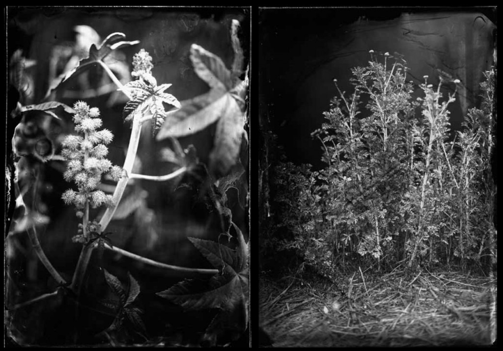 LEFT: Castor (2008/2012) | Fiber-based silver gelatin hand-printed photograph (from ambrotypes) | 33.5 x 25.2 inches | Edition of 3/5. RIGHT: Chrysanthemum (2008/2012) | Fiber-based silver gelatin hand-printed photograph (from ambrotypes) | 23.6 x 17.3 inches | Edition of 3/5.