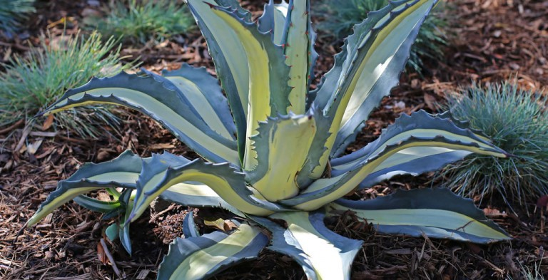 Photo of variegated agave plant
