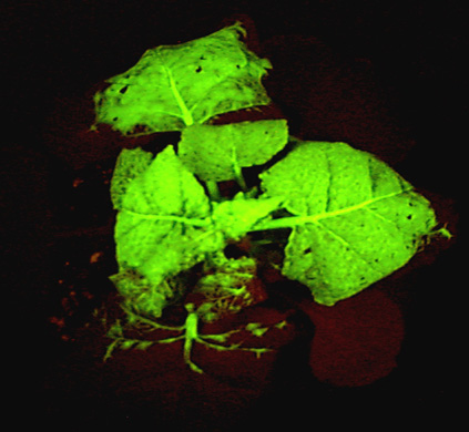 TMV technology instructs this plant to produce a protein that glows green when illuminated with ultraviolet light.