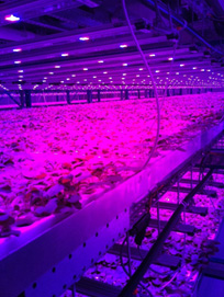 Blue and red LED lights, which provide the exact light wavelengths needed for photosynthesis, will be utilized for low-cost, scaled-up production.